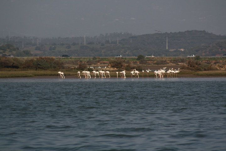 Flamingos on the banks of the River Arade