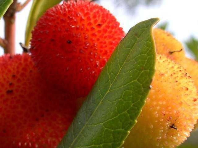 Medronho berries