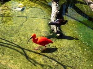 Scarlet Ibis at Zoomarine, Algarve