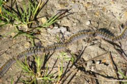 Pine Processionary Caterpillars in Algarve