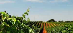 Winemaking in the Algarve