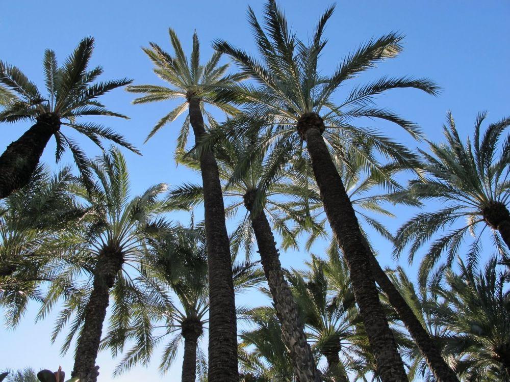 Elche palm trees, Alicante