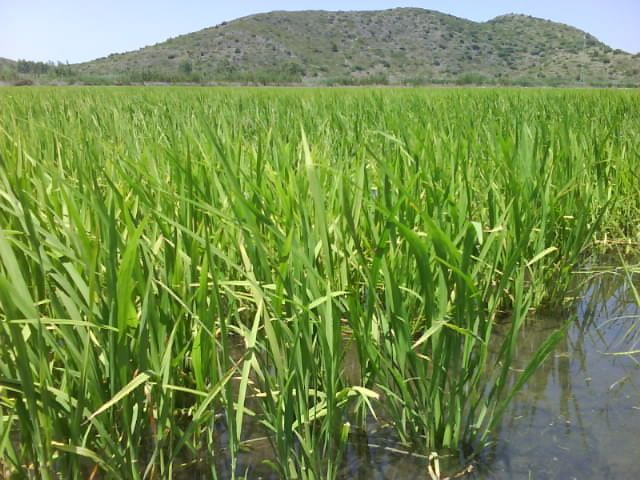 Paddy field in Pego