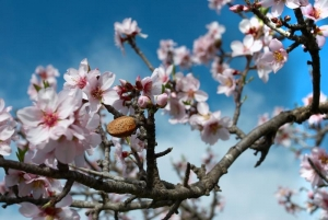 Almond blossom is in abundance in Spring
