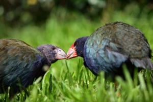 Two Takahe, photo Steve Molloy