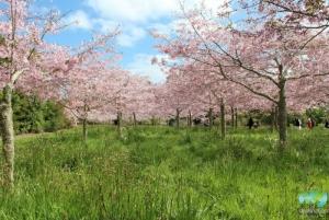 Spring Blossom Valley @ Auckland Botanic Gardens