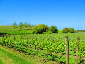 Vineyards of Kumeu