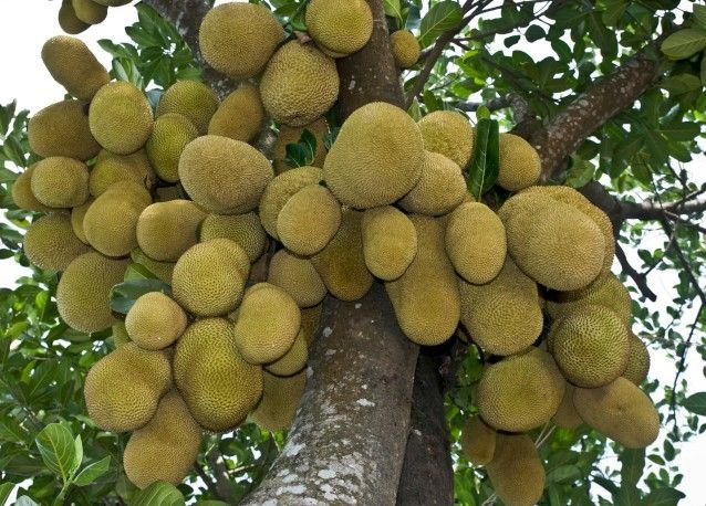 A lovely cluster of Jackfruit - photo wikipedia