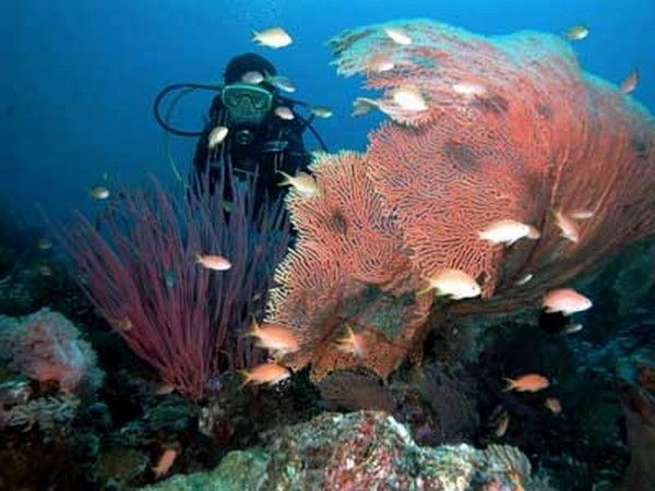 Menjangan coral