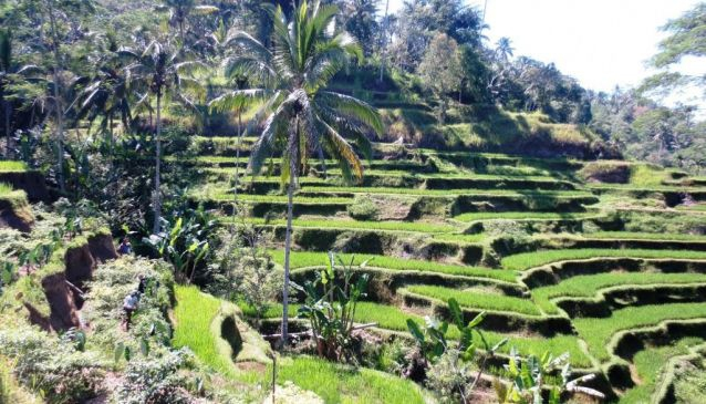 1. Trek through the Balinese Rice Terraces