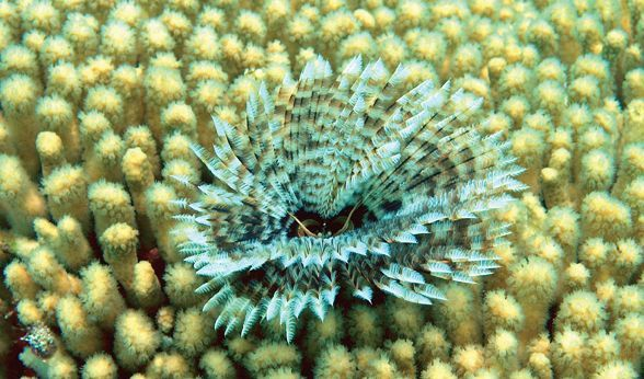 Featherduster Worm (Credit: Ramon Roach)