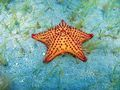 The West Indian Sea Star (Credit: Darren Browne)