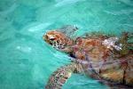 Barbados Museum's Turtle Walk, Richard Haynes Boardwalk - June