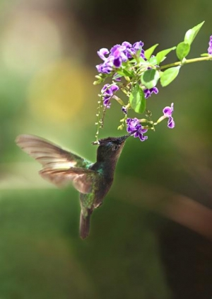 Nature in Barbados- a hummingbird feeding