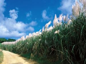 Sugarcane arrows