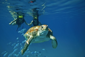 Swimming with sea turtles