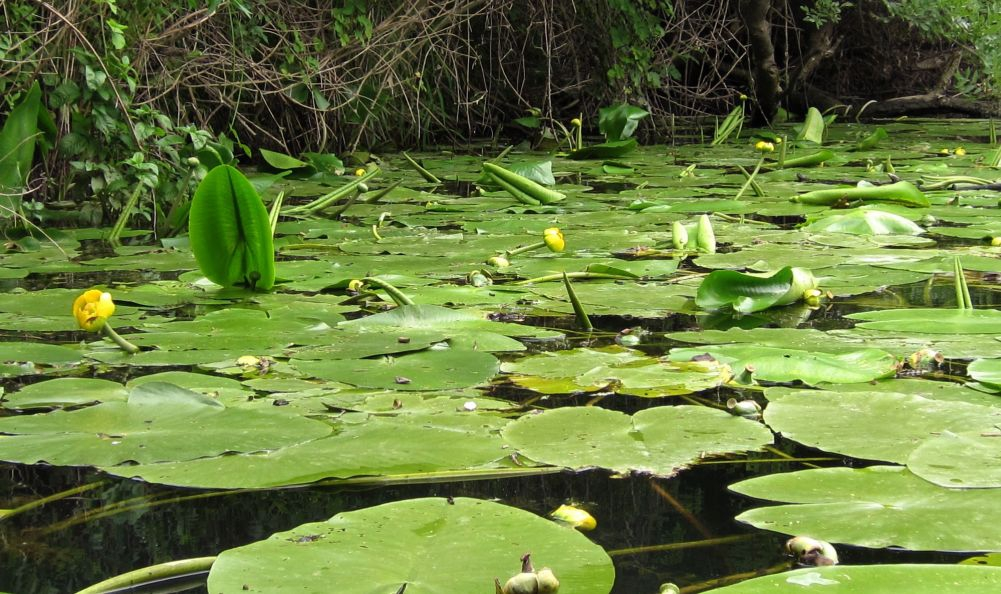 The yellow water-lily