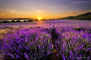 Purple Fields in Bulgaria by M.Dobrev