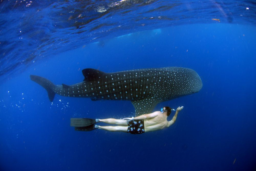 Whale Shark at Holbox