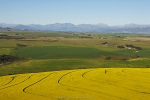 Canola Fileds in the Overberg
