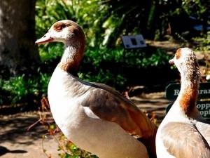 Egyptian Geese at Kirstenbosch