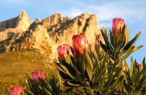 Proteas on Table Mountain