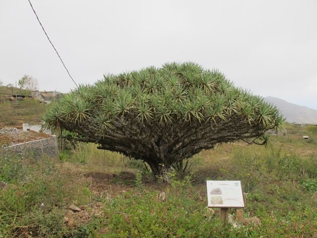 A local dragontree