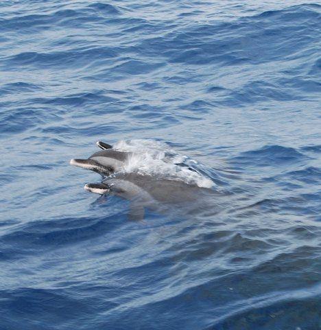 Dolphins by Linda Aspden