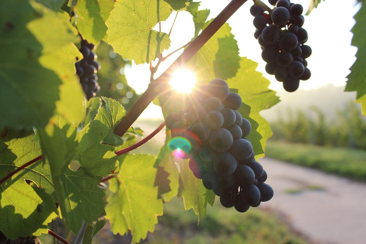 Winemaking in the Algarve