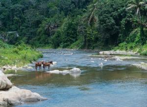 Horses in River, Utuado, Puerto Rico