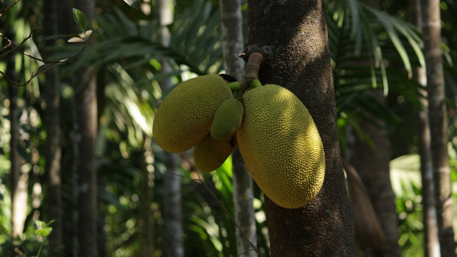 Jackfruit is similar in size or larger than durian and often confused as durian