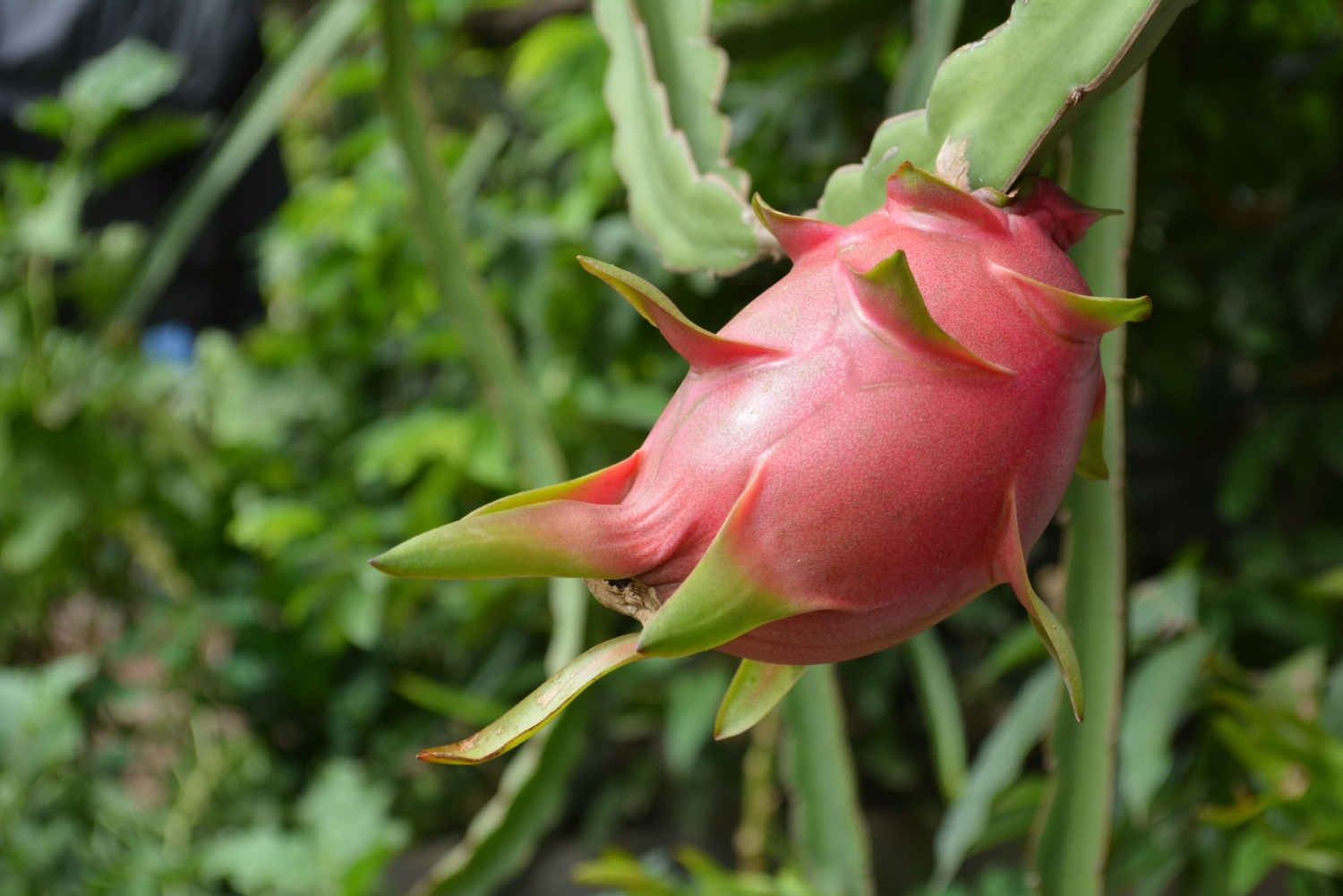 Dragonfruits are predominantly pink/red with a spiny, but soft exterior