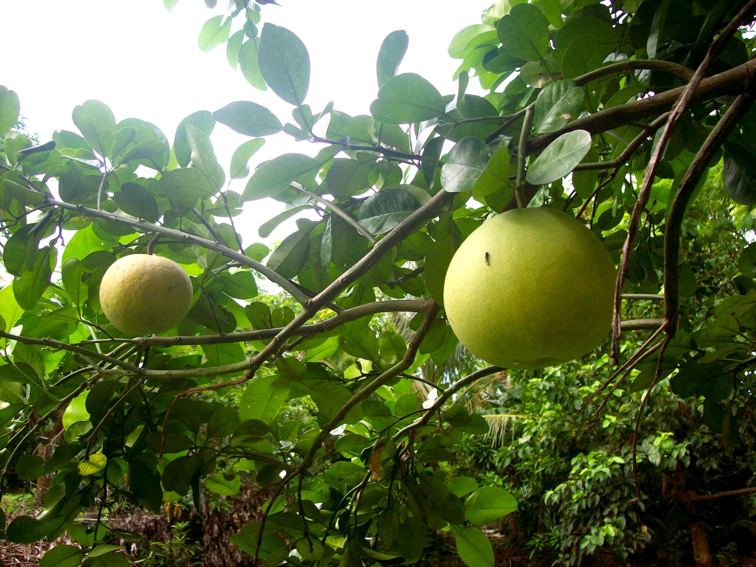 For those who aren't into super-sweet fruits, the pomelo is king