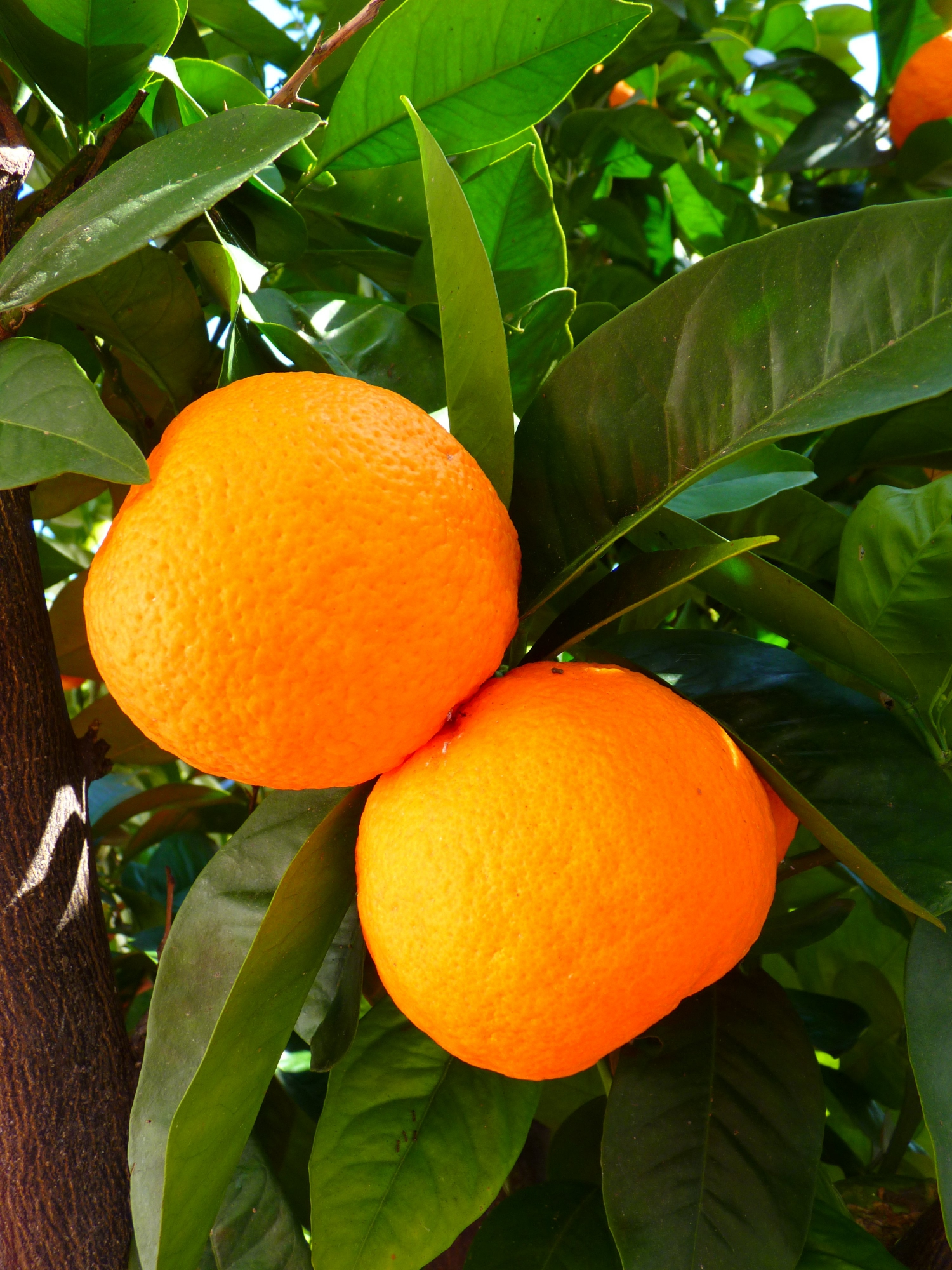 Oranges, while another commonplace fruit, come to many as a surprise in Vietnam