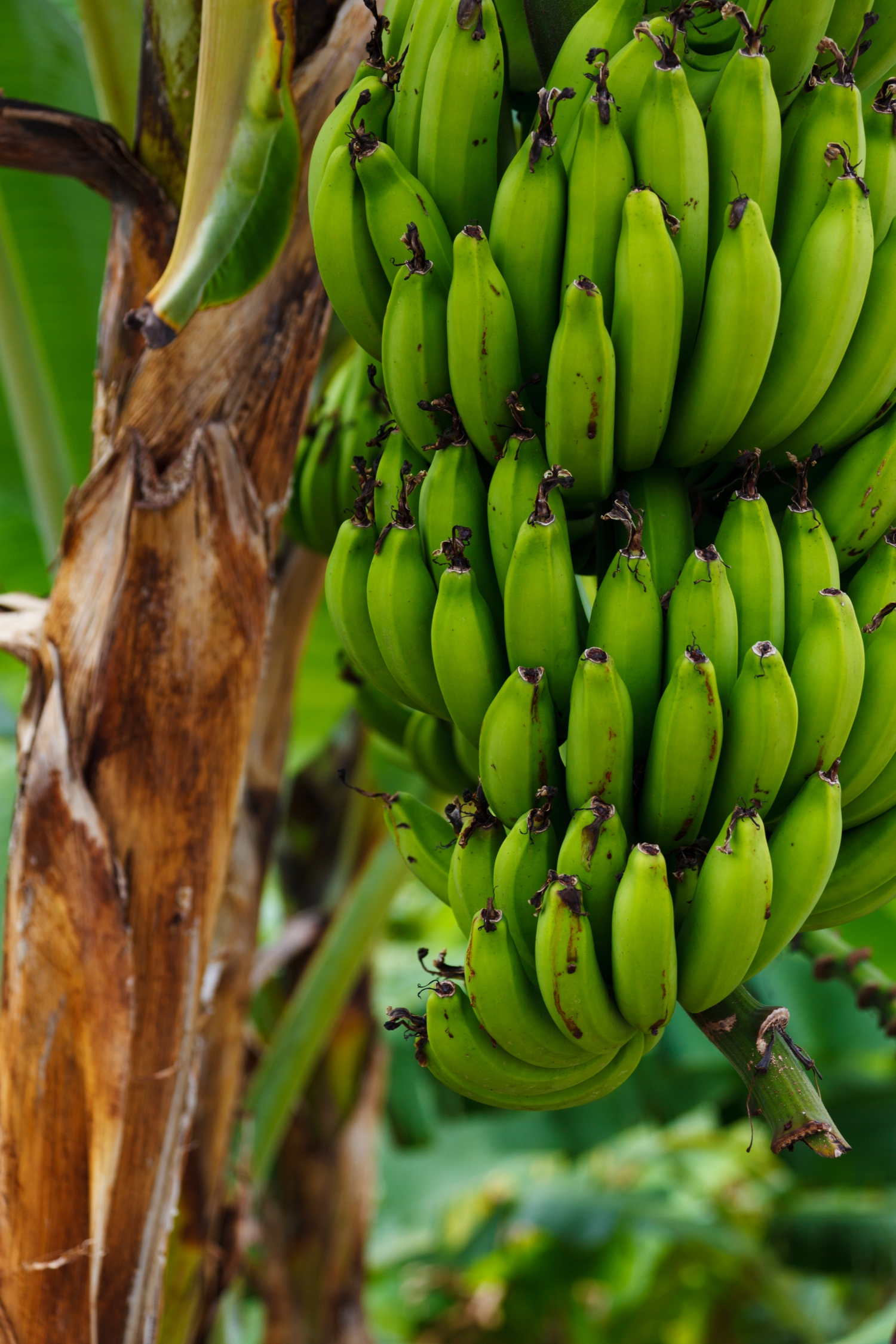 Bananas are commonplace and very useful in Vietnamese cuisine