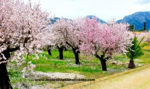 Almond Blossom in Jalon Valley