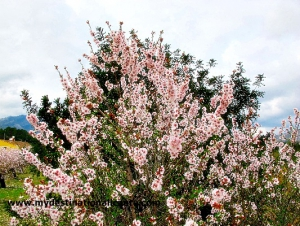 Almond Blossom in Jalon Valley