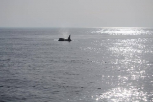 Orcas spotted off the Algarve coast