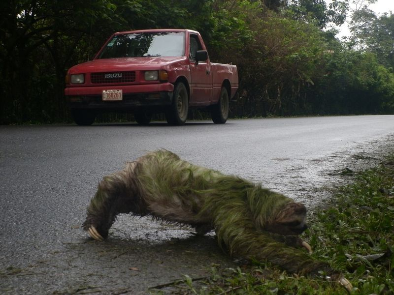 A sloth in Puerto Viejo