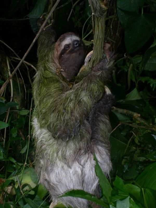 A sloth in Puerto Viejo