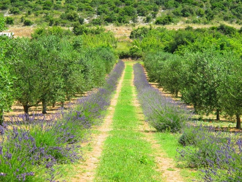 Olive grove in Pirovac