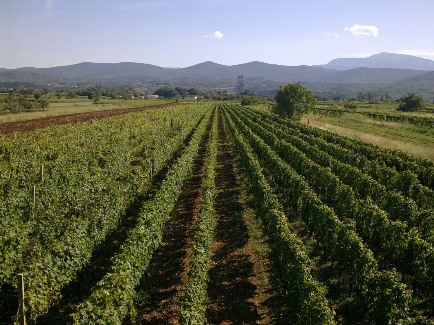 Vineyard in Imotski
