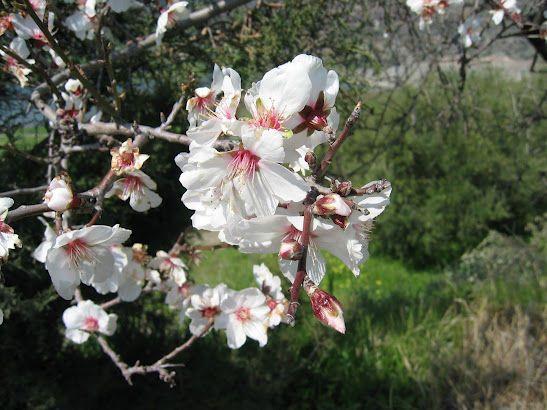 Yermasoyia - Almond Tree