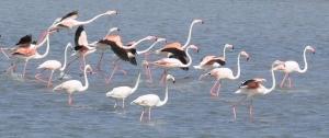 Flamingos -Larnaka Salt Lake