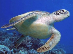 Turtle in Cyprus sea