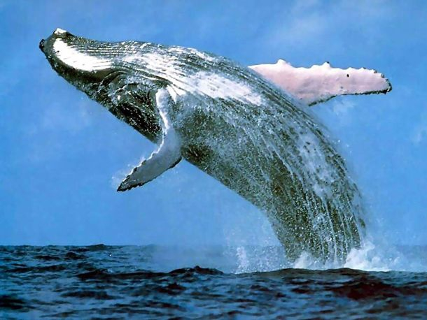 Humpback Whale Watching in the Dominican Republic