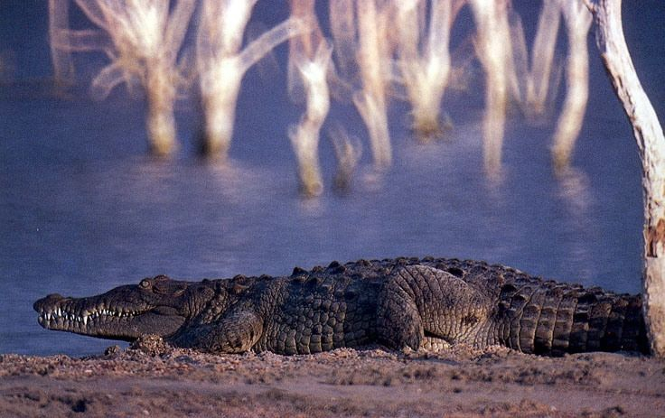 American Crocodile at Lago Enriquillo by exploradominicana.com