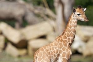 Dublin Zoo - Baby Giraffe