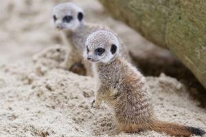 Dublin Zoo - Little Meerkats