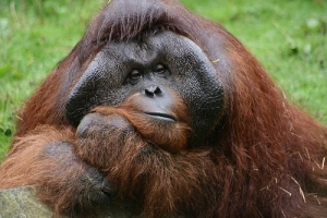 Dublin Zoo - Orangutan